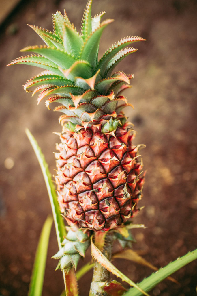 How to spend a day on the North Shore of Oahu - The Dole Pineapple Plantation