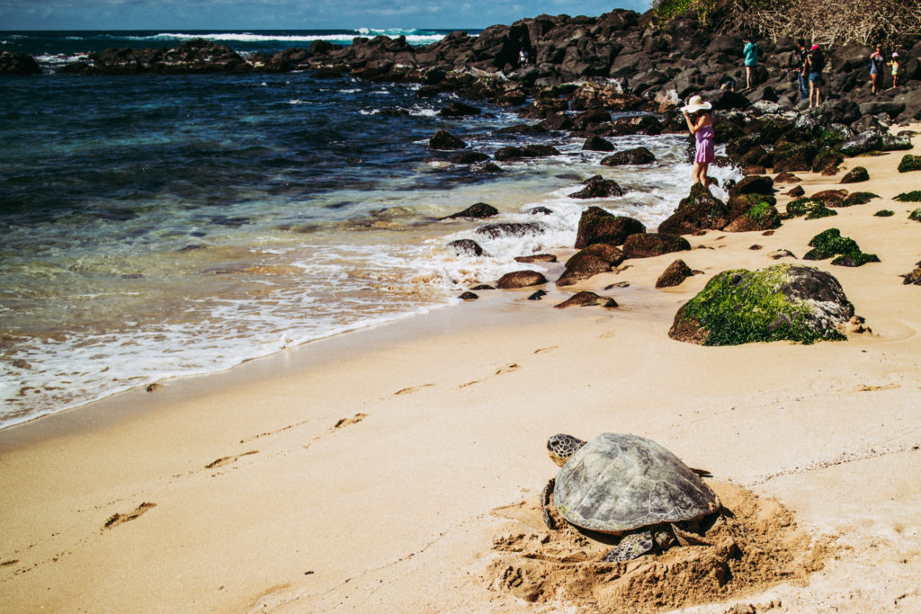 How to spend a day on the North Shore of Oahu - see the sea turtles at Laniakea Beach