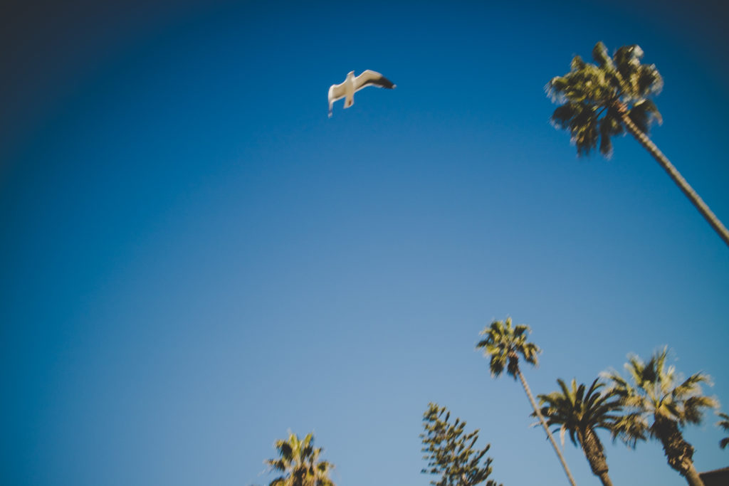 La Jolla Coves - Motion Blur Seagull in Flight