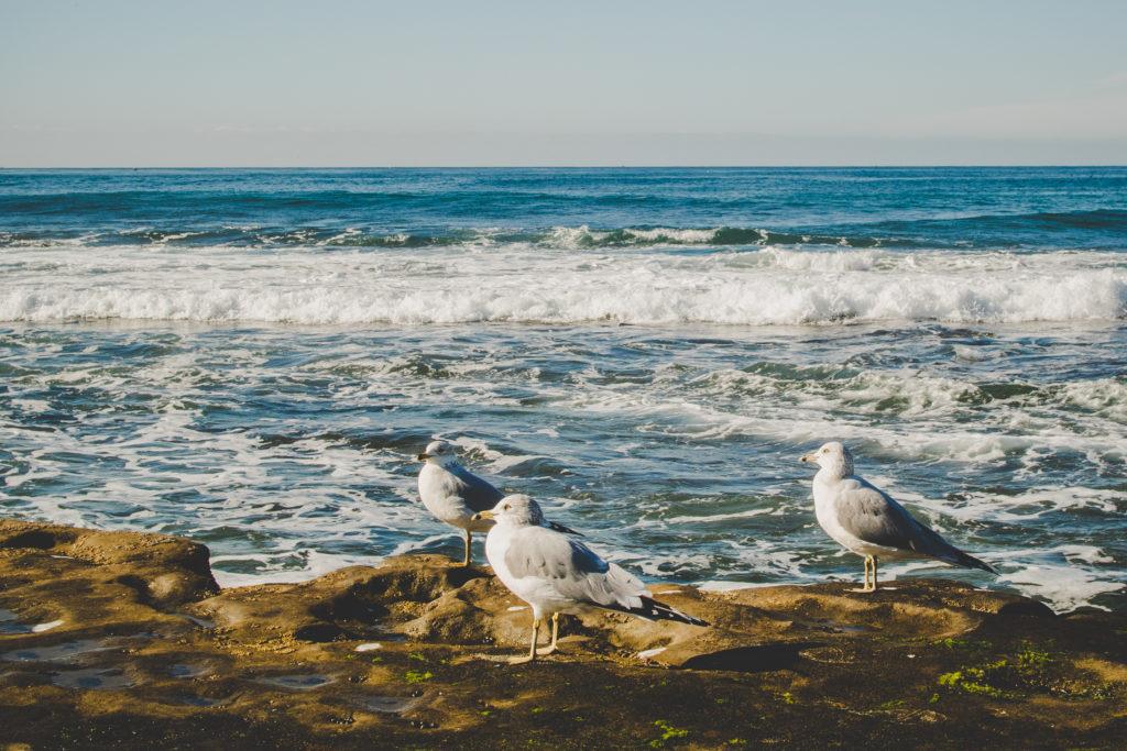 La Jolla Coves - Seagulls